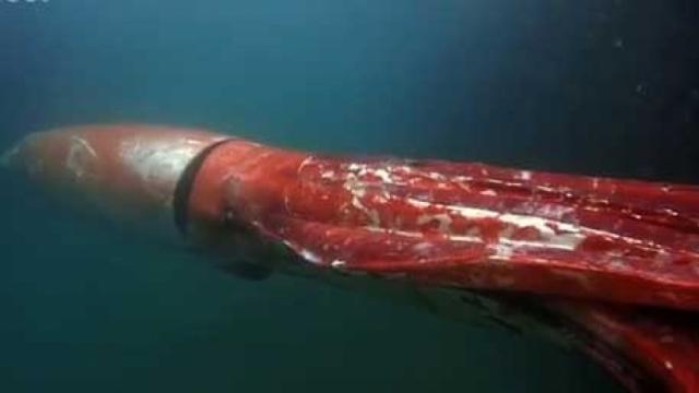 Гигантский кальмар также встретился рыбакам у побережья Японского моря в заливе Тоями.