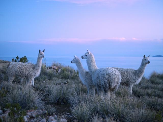 Ламы на озере Титикака в Перу. Christian Heeb, laif/Redux