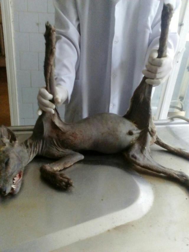 В Черновицкой области Украины житель в собственном дворе забил лопатой неизвестного зверя.