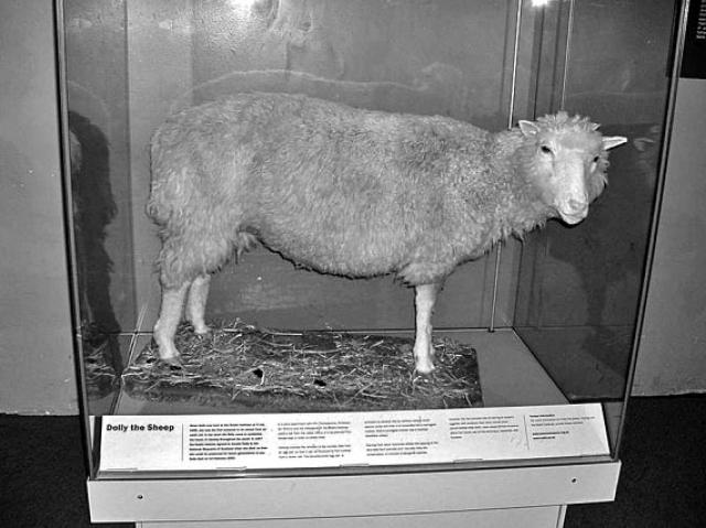 Чучело Долли выставлено в Королевском музее Шотландии.