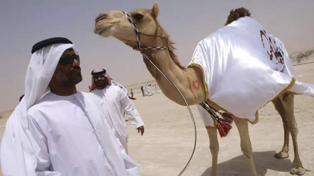 12 животных были исключены из отбора за то, что ради придания им идеальных внешних форм перед участием в соревновании верблюдам ввели филлеры в губы, щеки, головы и колени.