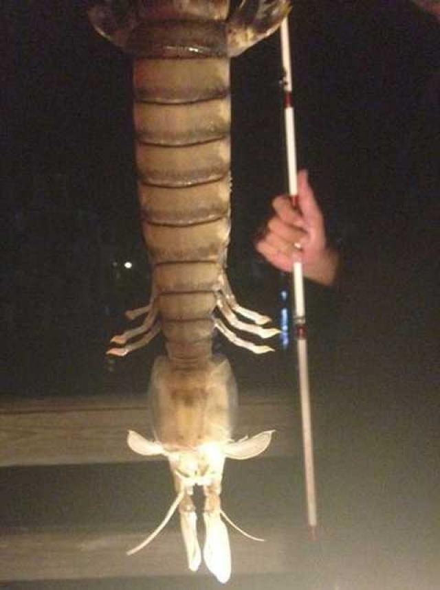 Странное существо сфотографировал Стив Баргерон, когда рыбачил с причала Форт Пирс. По словам мужчины, это был монстр, длиной примерно 50 сантиметров. Специалисты Комиссии по охране рыбы и дикой природы Флориды заявили, что пойманное существо относится к неизвестному им виду.
