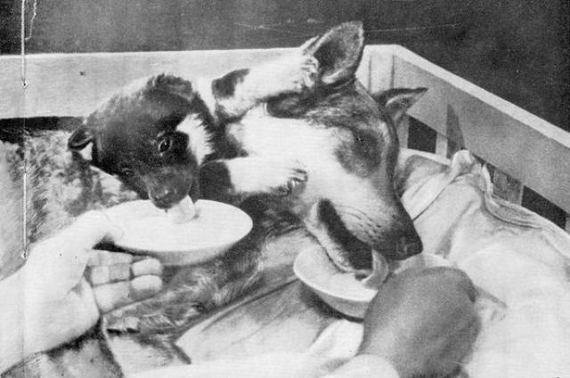 Передняя часть крупного щенка, с ногами, но с удаленным сердцем и легкими пересаживалась целой собаке на шею.