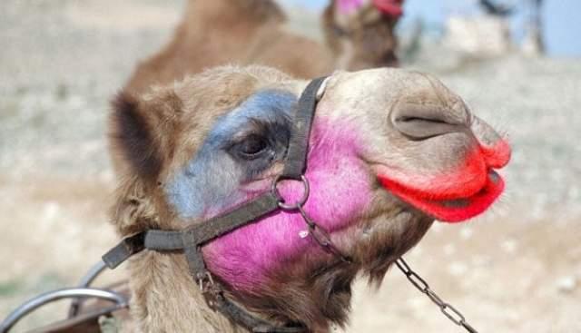 Верблюдицы. В Саудовской Аравии в начале 2018 года на международном конкурсе верблюдиц двугорбых участниц дисквалифицировали за применение ботокса.