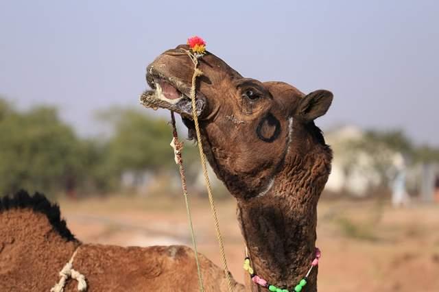 Если кого-то позабавило столь несерьезное мероприятие, то следующая информация мигом развеет это впечатление. Конкурс на самую красивую верблюдицу проходит в рамках традиционного фестиваля имени короля Абдель Азиза.