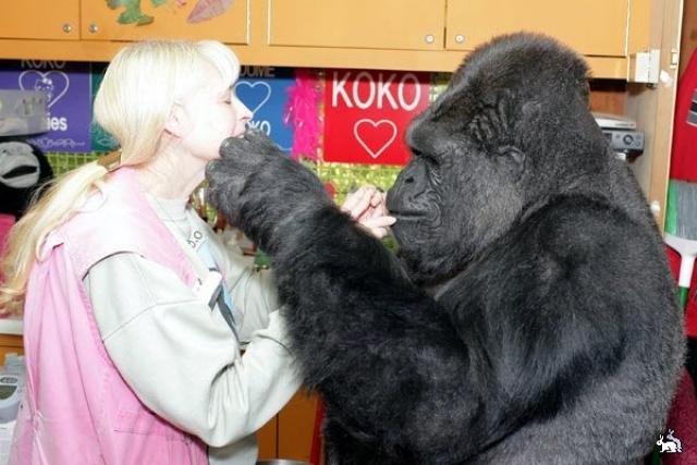 Горилла Коко. Психолог Пенни Паттерсон взяла ее из зоопарка Сан-Франциско.