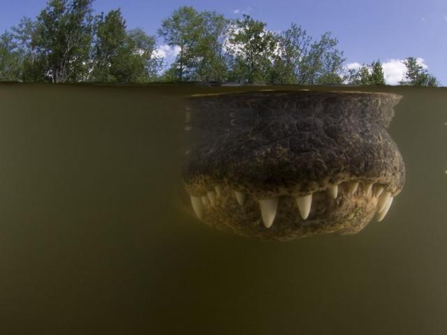 Аллигатор в мутной воде, Биг-Сайпресс, штат Флорида. Doug Perrine, Nature Picture Library/Corbis